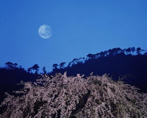 小倉山の月と夜桜