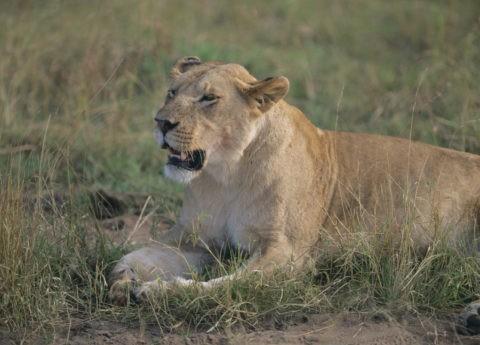 ライオンの雌 ケニア マサイマラ