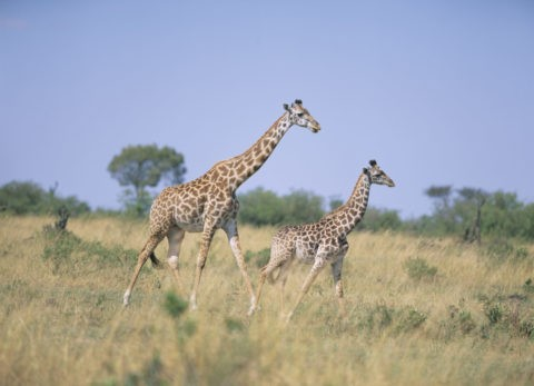 マサイキリン ケニア マサイマラ