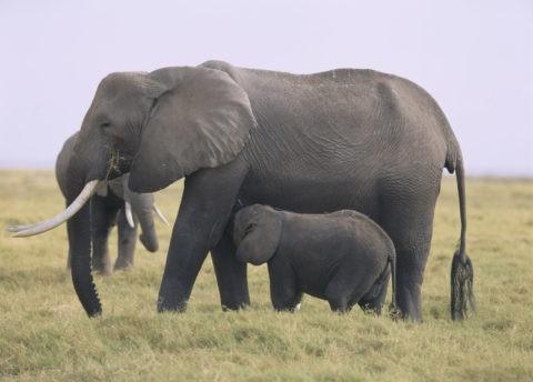 象の授乳 ケニア アンボセリ