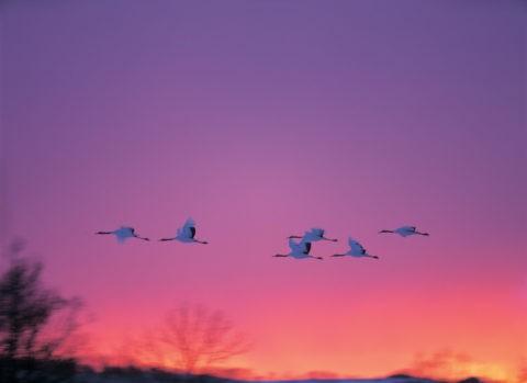 夕暮飛翔の丹頂鶴