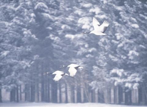 降雪飛翔の丹頂鶴