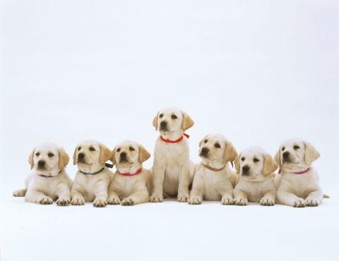 7匹のラプラドル犬