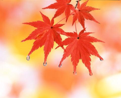 紅葉と水滴