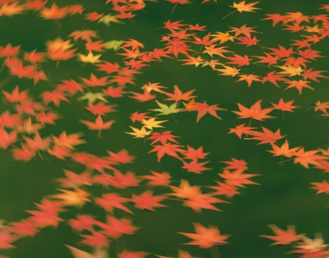 水面を流れる紅葉