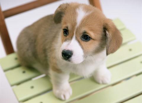 コーギーの子犬