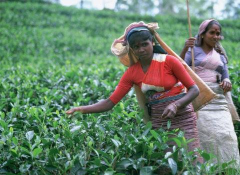 紅茶を摘む人