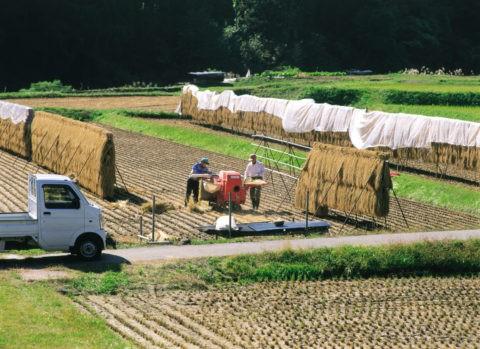稲穂と脱穀作業