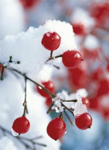 淡雪と南天