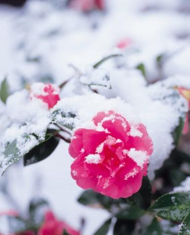 淡雪と山茶花