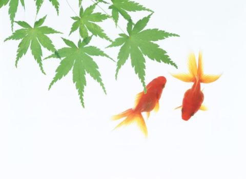 金魚と青楓