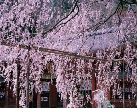 枝垂桜 大石神社