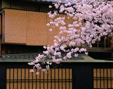 桜とすだれ 祇園白川