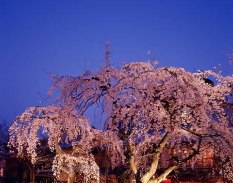 夜桜 祇園白川