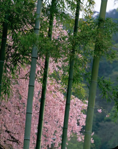 竹と桜 嵐山