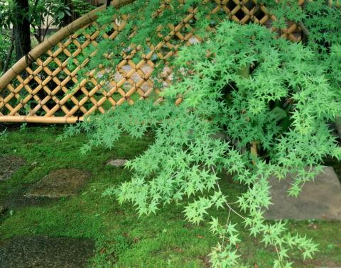 青楓と竹垣