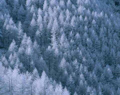 唐松林の霧氷