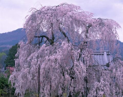 大野寺枝垂れ桜