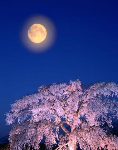 枝垂れ桜と朧月