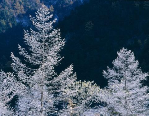 樹に付着する霧氷