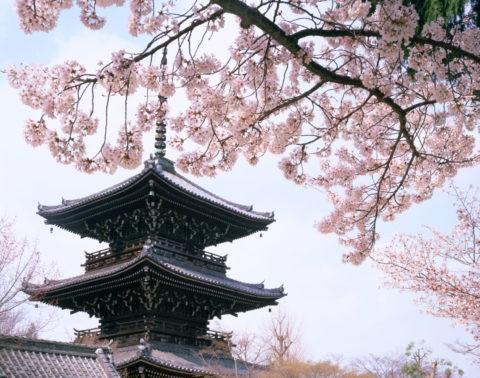 桜と眞正極楽寺(真如堂)三重塔
