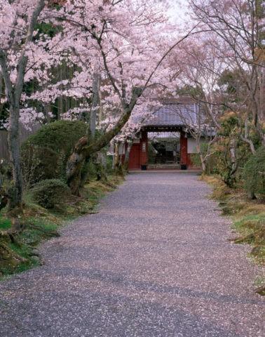桜と常照寺 吉野門