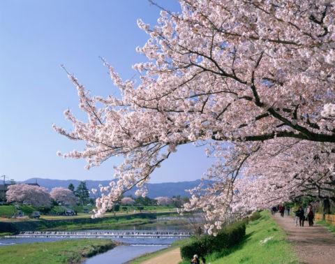 桜と賀茂川 葵橋上流