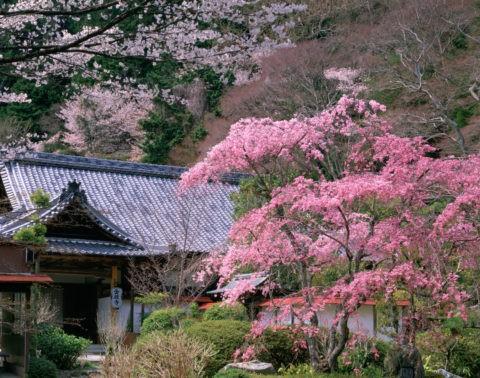桜と金蔵寺