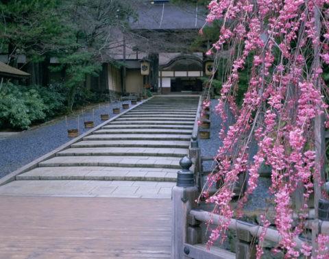 高野山 桜と金剛峯寺
