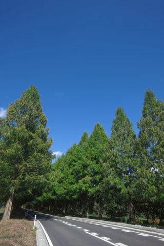 メタセコイヤ 並木