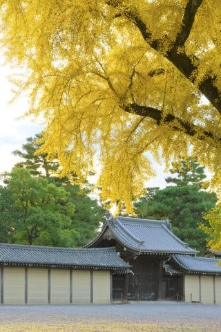 京都御苑 銀杏