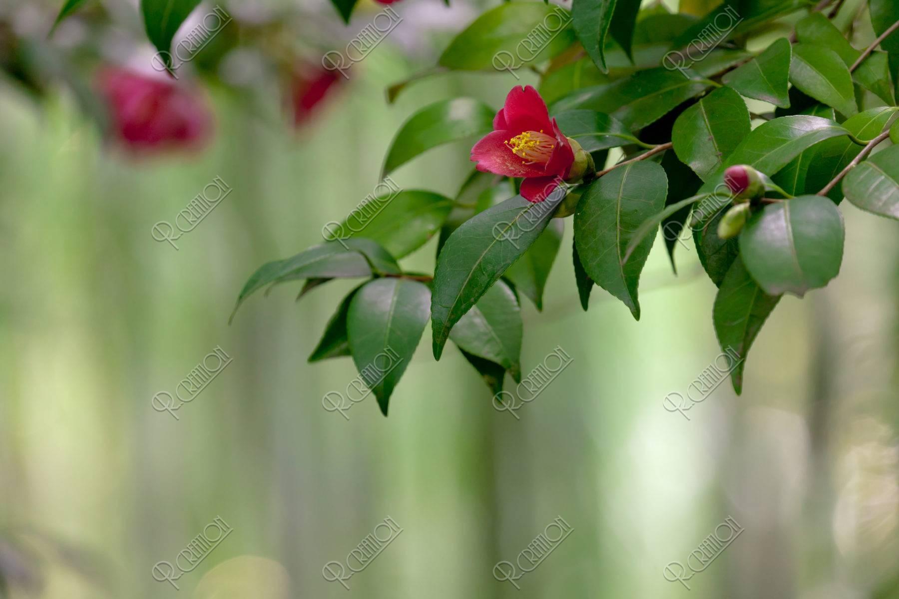 藪椿と竹林