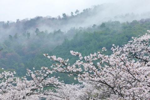 桜 東山連峰