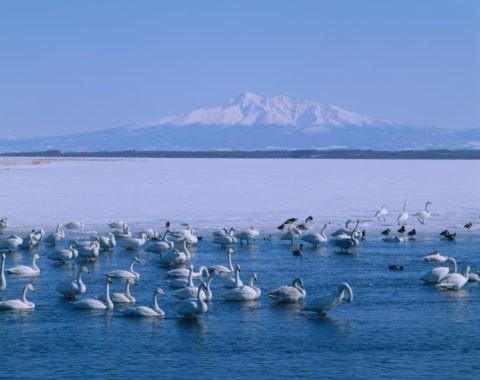 白鳥と斜里岳