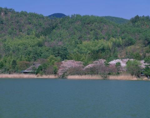 嵯峨野広沢池 桜