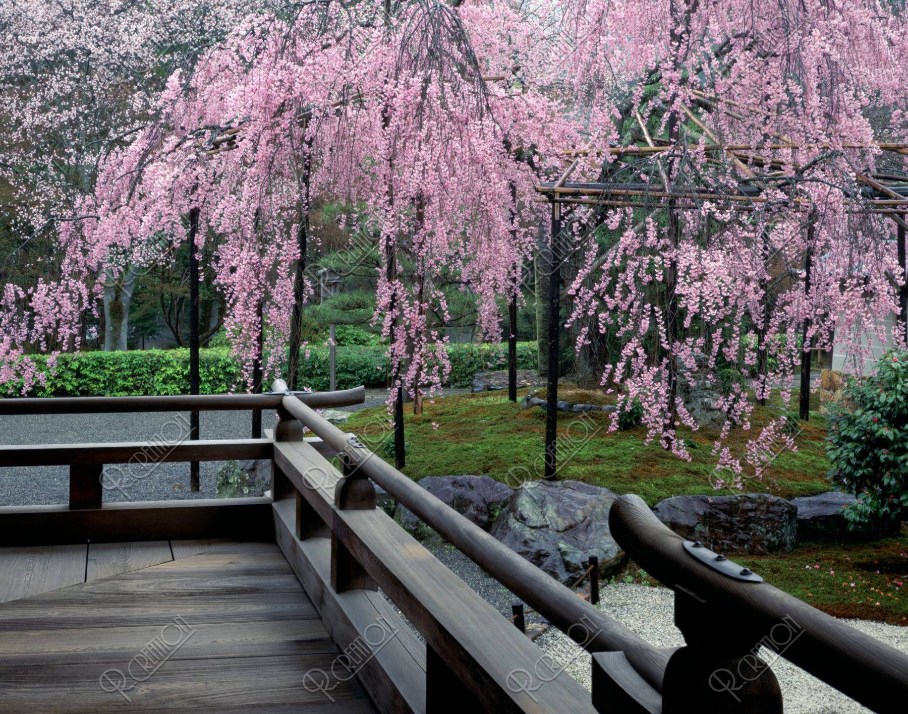 西芳寺の紅枝垂