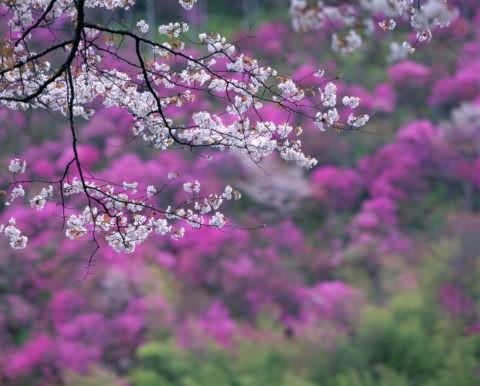 高雄 桜と山つつじ