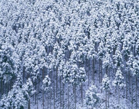 雪の北山杉
