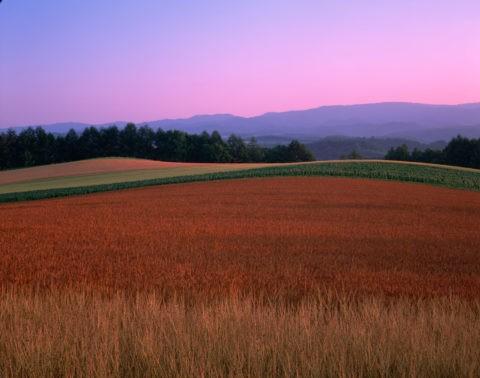 赤麦畑 夕景