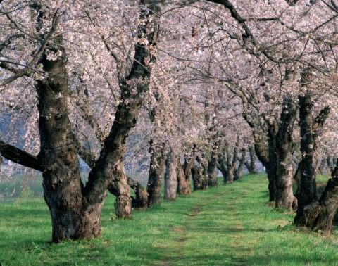 檜木内川堤の桜