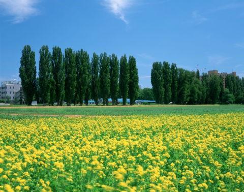 北大ポプラ並木とキガラシ