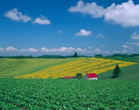 赤い家とヒマワリの丘