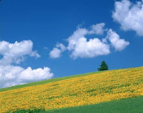 雲とヒマワリの丘