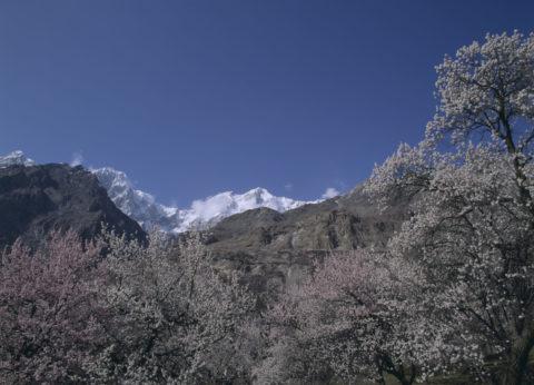 ウルタル峰とアンズ フンザ村 パキスタン