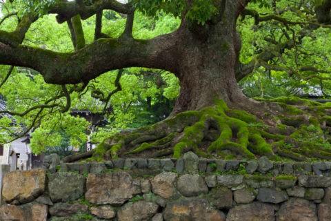 青蓮院 楠木