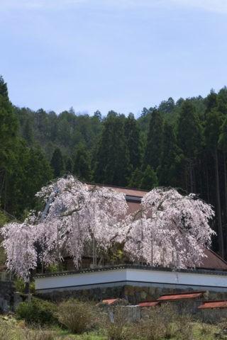 福徳寺 桜と北山杉