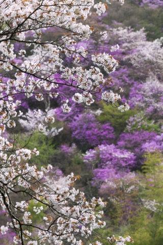 高雄 桜とミツバツツジ