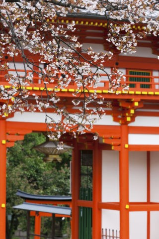 新日吉神宮 桜