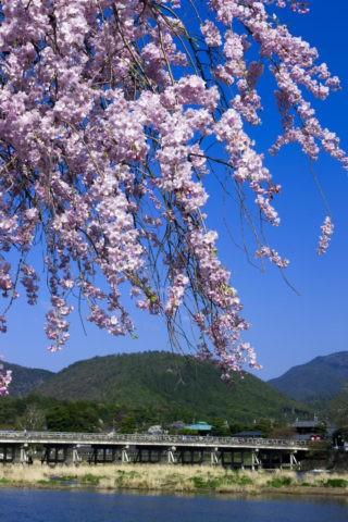 渡月橋 小倉山と桜