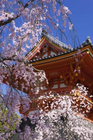 仁和寺 桜 世界遺産